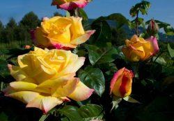 mme-a-meilland-trandafir-urcator-5_2048x