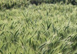 triticale-crops-dairy-0821h-3614a_0